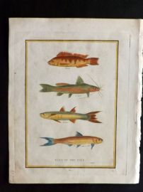 Pelham 1820 Hand Col Print. Fish of the Nile after Sonnini.